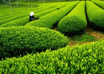 九江:茶农直播带货17万 千亩茶园有了新销路