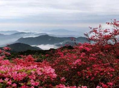 井冈山杜鹃花节4月25日开幕 首次在线上举办