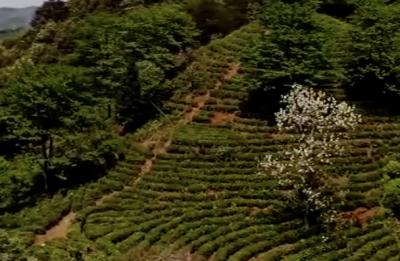 """制茶""""高手""""何志勇:以茶为媒引领百姓致富"""