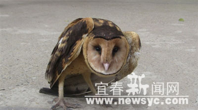 高安:施救受伤猴面鹰