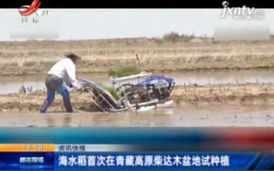 海水稻首次在青藏高原柴达木盆地试种植