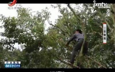 三农聚焦20200714 森林油田 光皮梾木