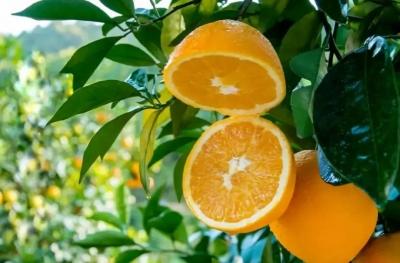 给力!赣南脐橙入选中国首批受欧盟保护地理标志名录