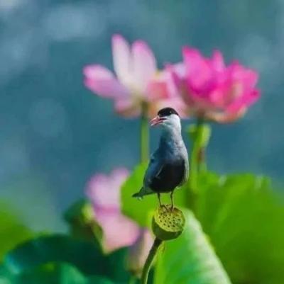 美景山东丨滕州红荷湿地:中国最大的荷花观赏地