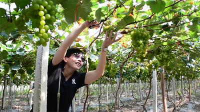 九江修水:葡萄、无花果熟甜似蜜 游客采摘欢乐多