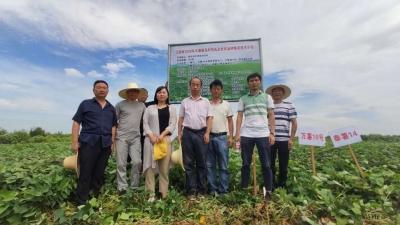 江西省农业技术推广总站到进贤县指导红薯生产工作