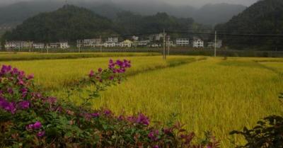"""早稻增产4.1亿斤的背后——江西克服疫、汛""""双考""""交出丰收答卷"""