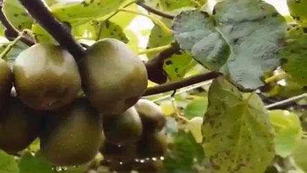 奉新县:猕猴桃园里采摘忙