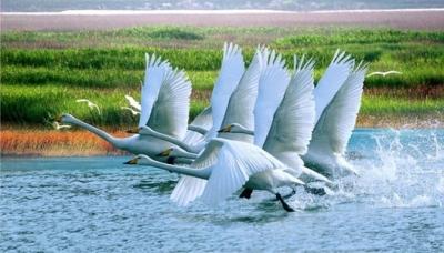 鄱阳湖候鸟又南归