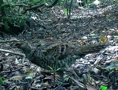 江西九岭山保护区拍到国家一级保护动物雌性白颈长尾雉