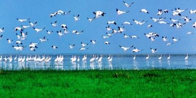 美如画!鄱阳湖迎来越冬候鸟迁徙高峰