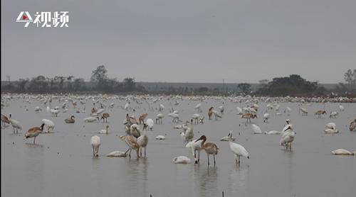 观鸟正当时 全球超一半野生白鹤飞抵江西