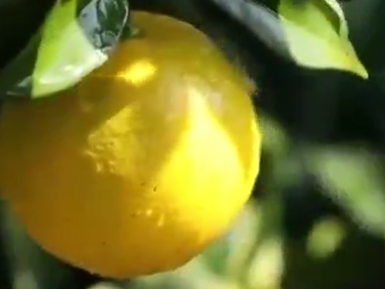 贛州:臍橙成了致富果 果農銷路不用愁