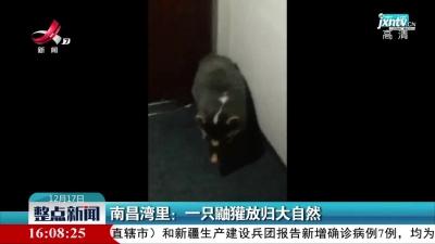 南昌湾里:一只鼬獾放归大自然