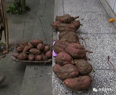 """稀奇!江西农民种出""""红薯王"""" 重达90多斤"""