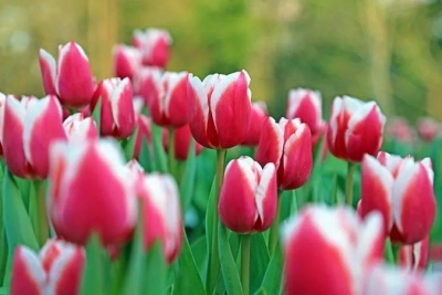 春花郁金香竟然在寒冬盛开 这是怎么回事?