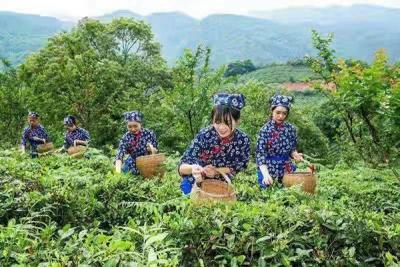 以茶兴旅、以旅助茶  庐山云雾探索茶旅融合发展新路