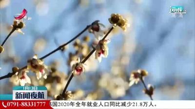 南昌湾里:腊梅傲寒绽放 散发沁人幽香