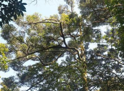 南风面保护区发现江西省内面积最大资源冷杉种群