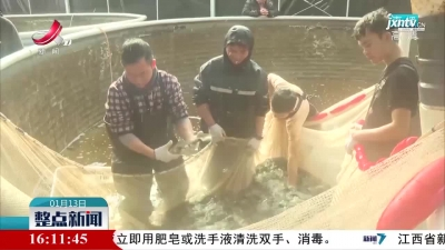 新余:工厂化养鱼首次起网  反季节鳜鱼丰收