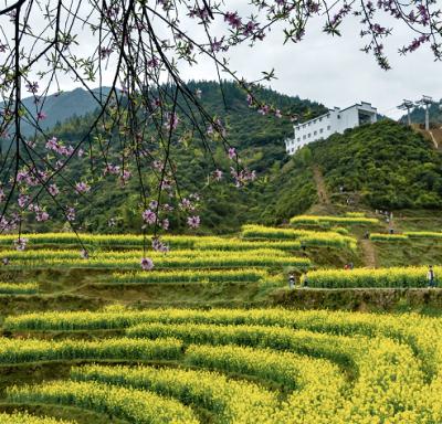 江西婺源:油菜花花期提前 预计2月底将进入赏花期