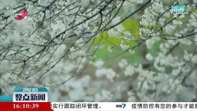 四川广元:樱花谷里春光好