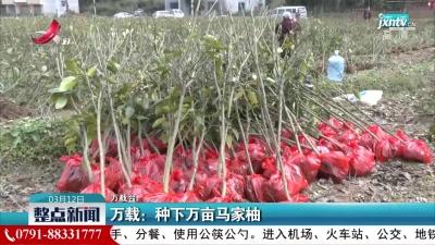 万载:种下万亩马家柚