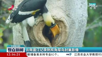 云南盈江记录到双角犀鸟封巢影像