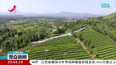 浮梁:16万亩茶园全面开采