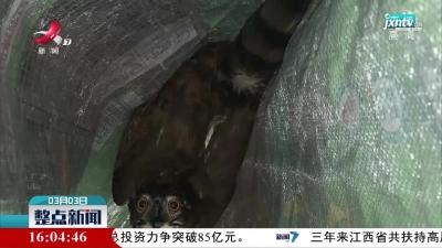 【世界野生动植物日】于都:小区惊现凤头鹰 警民接力救助放生