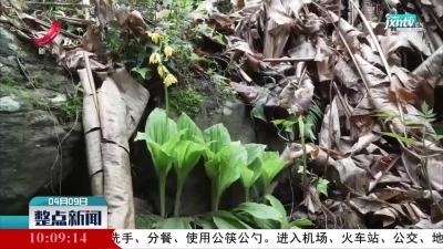 江西九岭山自然保护区首次发现濒危野生大黄花虾脊兰