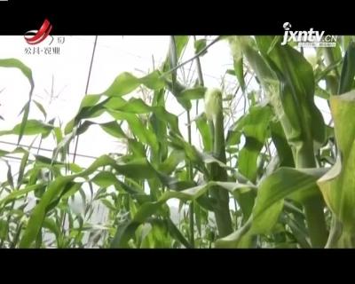 """稻花香里20210416 乡村振兴看远方——""""白雪公主"""":可以生吃玉米!"""