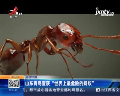 """山东青岛查获""""世界上最危险的蚂蚁"""""""