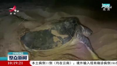 广东惠东海龟国家级自然保护区迎来2021年首只海龟上岸产卵