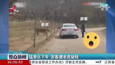 北京:猛兽区下车 游客遭老虎凝视
