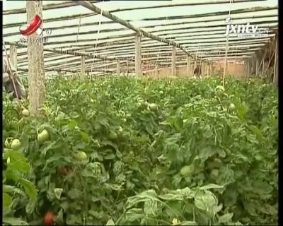 农博士大讲堂20210430 番茄病害防治技术
