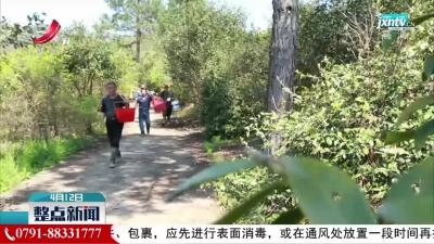 江西低海拔红花油茶优株树种培育取得新突破