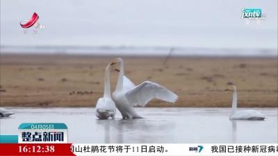 上万只野生天鹅返回我国最大天鹅保护区