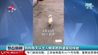 四川自贡:狗狗每天从主人娘家跑到婆家陪伴她