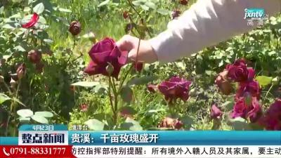 贵溪:千亩玫瑰盛开