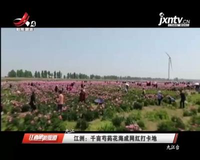 九江江洲:千亩芍药花海成网红打卡地