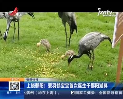 上饶鄱阳:蓑羽鹤宝宝首次诞生于鄱阳湖畔