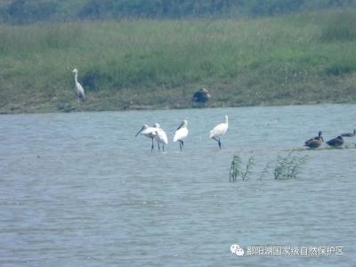 今年第一批越冬候鸟已飞抵鄱阳湖,比去年提前了1天!