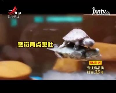 机智! 小乌龟偷懒骑大乌龟背上游泳
