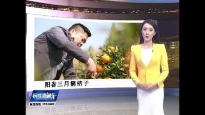 陽春三月 摘桔子去!