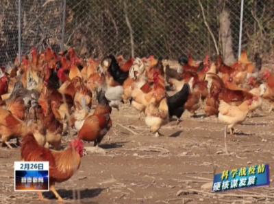 靖安:愛心直播賣土雞