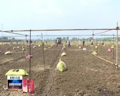 樟樹:引種300畝中藥材金絲皇菊