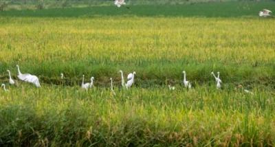 【江西是個好地方——福地吉安】永新:早稻開鐮收割