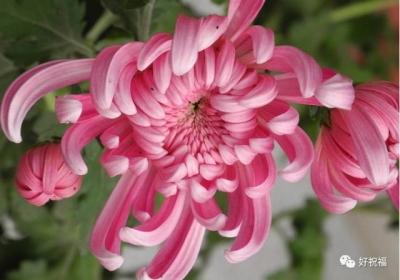 全世界最美菊花 ,终于找齐了,太美太珍贵了!