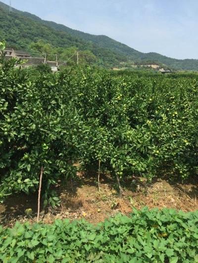 县财政大力支持井冈蜜橘产业扶贫